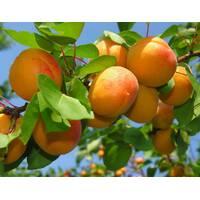 Саджанці абрикоси і персика