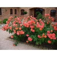 Саджанці плетистих помаранчевих троянд