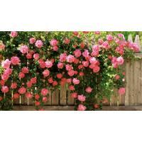 Саджанці плетистих троянд Рожева перлина