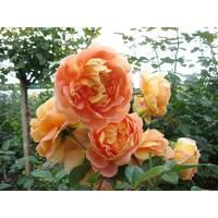 Саджанці троянд Солей д'Ор