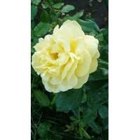 Саджанці троянд Старлайт