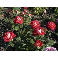Саджанці троянд Нью Фешн