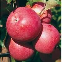 Саженцы яблони Бенни Шогун