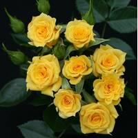 Саженцы бордюрных роз Свит Дрим Крим