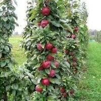 Саджанці колоновидной яблуні Джина