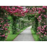 Саджанці плетистих троянд