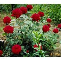 Саженцы роз Кардинал