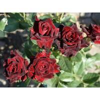 Саджанці троянд Блэк Баккара
