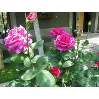 Саженцы чайно-гибридных роз Юрианда