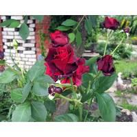 Саджанці троянд Нориту