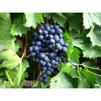 Саженцы винограда Киш-миш Магарача