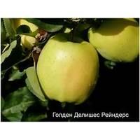 Саженцы яблони Голден Рейнджерс