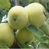 Саджанці яблуні Сніговий калвин