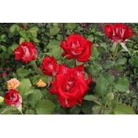 Саджанці троянд Лавли Ред