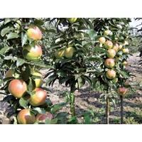 Колоновидные саженцы яблони
