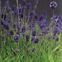 Лаванда Lavance Purple (саженцы)