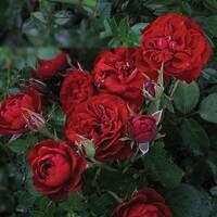 Саженцы бордюрных роз Андалусия