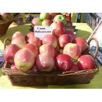 Літні сорти яблук