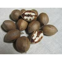 Саженцы ореха Пекан Канза (однолетние)