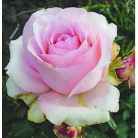 Саженцы чайно-гибридных роз Юниверс