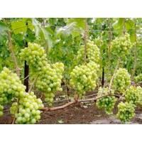 Саженцы винограда Талисман