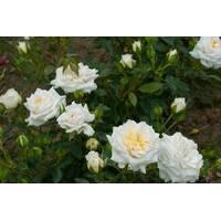 Саженцы бордюрных роз Хонемилк