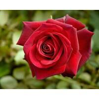 Саджанці троянд Віктор Гюго