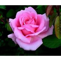 Саджанці троянд Графиня Беттина