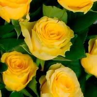 Саджанці троянд Илиос