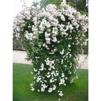 Саджанці плетистих білих троянд