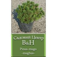 Сосна гірська Мугус (Pinus mugo mughus)