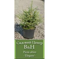 Ель обыкновенная (Picea abies Elegans)
