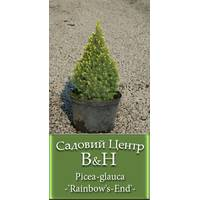 Ель канадская Рейнбоуз Энд  (Picea glauca Rainbow's End)