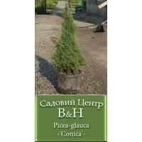 Ялина канадська Коніка (Picea glauca Conica)