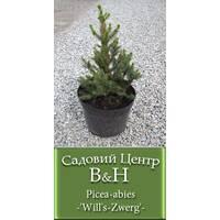 Ель европейская Виллс Цверг (Picea аbies Will's Zwerg)