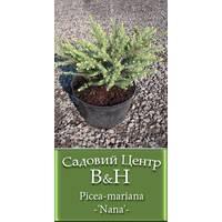 Ель черная Нана (Picea mariana Nana)