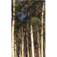 Eucalyptus Oil (Эвкалиптовое масло)