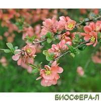 Айва середня (Хеномелес) Pink Trail