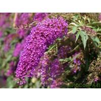 Буддлея Давида Nanho Purple
