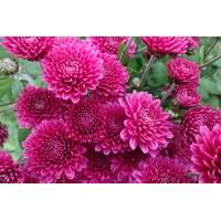 Хризантема Bigli pink (ОКН-2734)