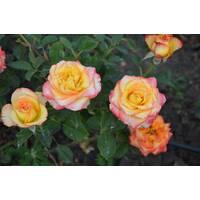Троянда чайно-гібридна Висший свет (ІТЯ-407)
