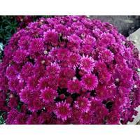 Хризантема Amiko violet (ОКН-2735)