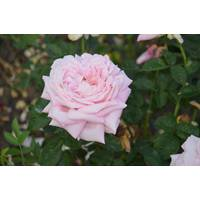 Троянда чайно-гібридна Херітейдж (ІТЯ-305)
