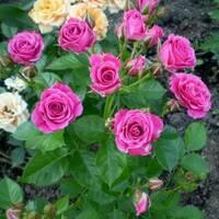 Троянда спрей Пурпуровий (ІТЯ-295)