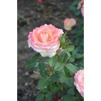 Троянда чайно-гібридна Дует (ІТЯ-73)