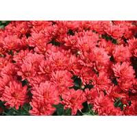 Хризантема Camina red (ОКН-2733)