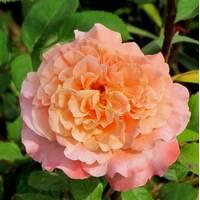Троянда англійська Августа Луїза (ІТЯ-30)