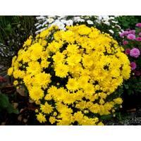 Хризантема Axima yellow (ОКН-2731)