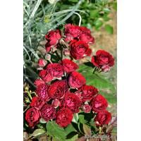 Троянда спрей Ред Сенсейш (ІТЯ-298)