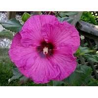 Гібіскус рожевий